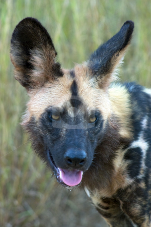 African wild Dog stock photo, Close up of an African Wild Dog (Painted Fox) in Kruger National Park, South Africa by Darren Pattterson