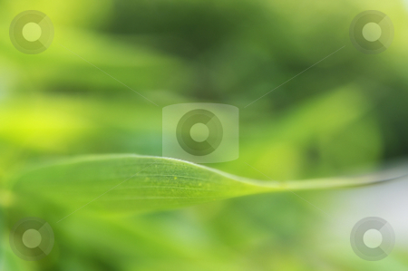 Green nature background  stock photo, Bamboo leafe in the sunlight as background by Carmen Steiner