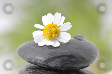 Camomile on a stone  stock photo, Camomile on a black stone with a waterdrop by Carmen Steiner