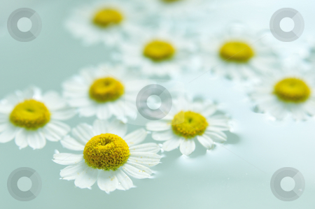 Camomile in water stock photo, Camomile flowers in water by Carmen Steiner