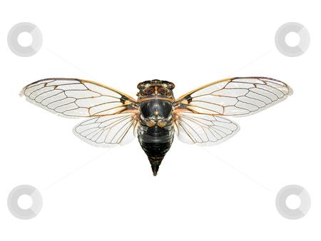 Cicada stock photo, Cicada Lyristes plebejus by Robert Biedermann