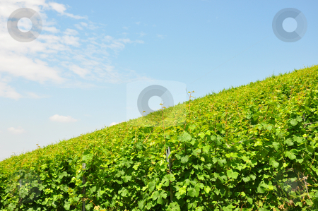 Vineyard stock photo, Vineyard by Robert Biedermann