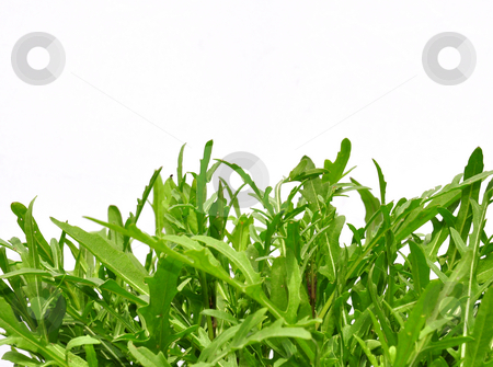 Roquette stock photo, Roquette by Robert Biedermann
