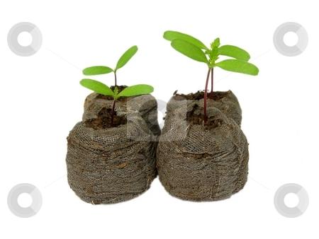 Seedlings in a peat pot stock photo, Seedlings in a peat pot - marigold (Tagetes) by Robert Biedermann