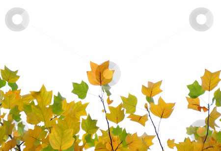 Yellow and green fall leaves stock photo, Yellow and green fall leaves by Robert Biedermann