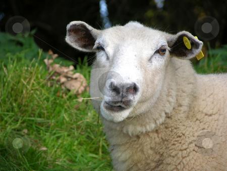 Funny sheep stock photo, Funny sheep by Robert Biedermann