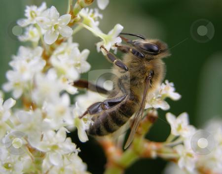 Bee on flower stock photo, Bee on flower of Japanese knotweed by Robert Biedermann