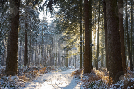 Winter forest stock photo, Sunny day in a snowy winter forest by Mikhail Lavrenov