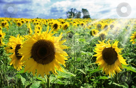 Sunflowers stock photo, Field of sunflowers and sunny sky by Mikhail Lavrenov