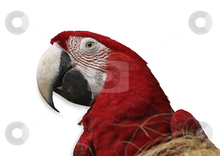 Parrot on white background stock photo, Parrot on white background by Sharron Schiefelbein