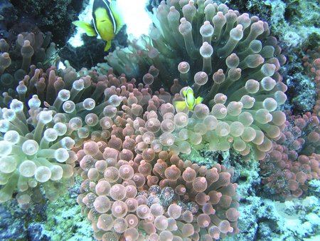 Underwater shot of coral Maldives Islands stock photo, Underwater shot of coral Maldives Islands by Sharron Schiefelbein
