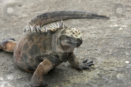 Marine Iguana on the Galapagos Islands stock photo, Marine Iguana on the Galapagos Islands by Sharron Schiefelbein