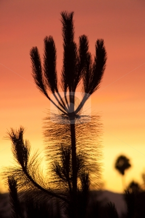 California sunset stock photo, White pine sunset silhouette in California by Mariusz Jurgielewicz