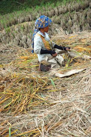 Harvesting paddies stock photo, Farmer harvesting paddies in their ricefield by Bayu Harsa