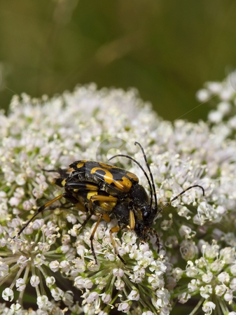 Wasp beetles on flower stock photo, Wasp beetles clytus arietis on flwers in summer by Mike Smith