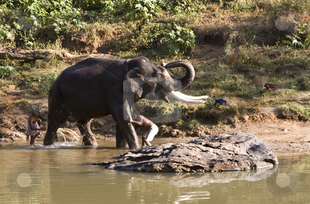 Indian Elephant getting a bath in Mudhumalai Wildlife Reserve stock photo, Indian Elephant getting a bath in Mudhumalai Wildlife Reserve by Sharron Schiefelbein