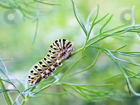Butterfly Larvae Munches on Fennel stock photo, A swallowtail lavae, with its beautiful green, white, black, and yellow coloration, satiates its voracious hunger on fennel plants. by Kenneth Keifer