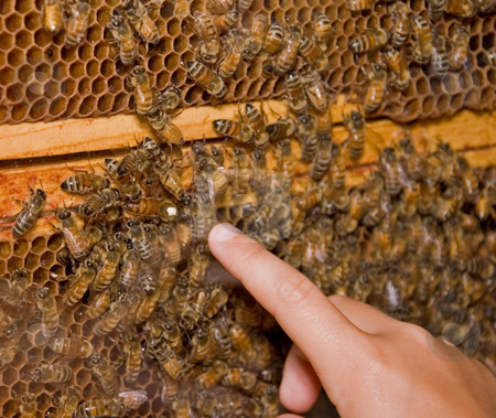 Finger Pointing to Queen Bee stock photo, Photo shows an active honey bee hive, with a finger pointing out the queen bee of the hive. by Valerie Garner