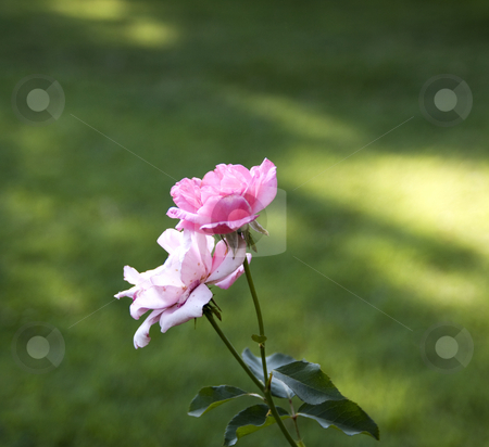 Roses stock photo, Closeup of a couple of pink roses by Fabio Alcini
