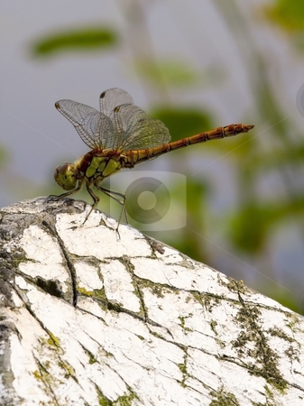 Dragonfly sympetrum striolatum 3 stock photo, A newly emerged dragonfly sympetrum striolatum in summer by Mike Smith