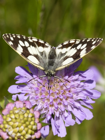 Marbled white butterfly on scabious flower stock photo, Marbled white butterfly on a scabious flower by Mike Smith