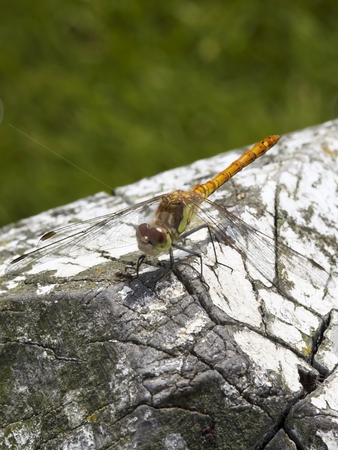 Dragonfly sympetrum striolatum 5 stock photo, A newly emerged dragonfly sympetrum striolatum in summer by Mike Smith