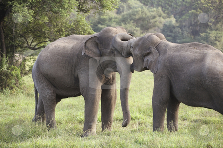 Elephant courtship stock photo, Two elephants courting in wasgomuwa national park sri lanka by Mike Smith