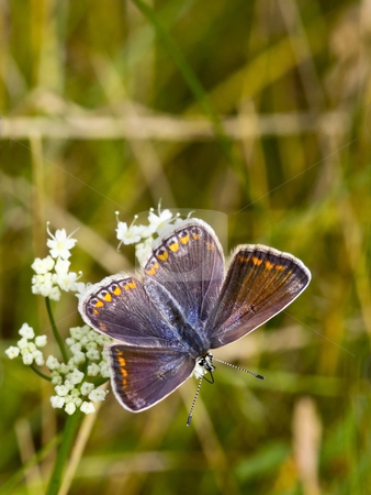A female common blue butterfly 2 stock photo, A female common blue butterfly polymmatus icarus in summer by Mike Smith