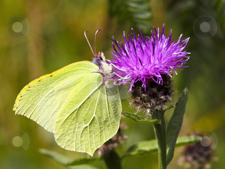 Brimstone butterfly on flower stock photo, A brimstone butterfly gonepteryx rhamni on a knapweed flower by Mike Smith