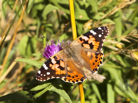 Painted lady stock photo, An image of a painted lady butterfly in summer by Mike Smith