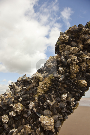Barnacle encrusted timber stock photo, A barnacle encrusted piece of timber on a beach in summer by Mike Smith