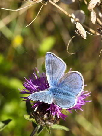 Male common blue butterfly 5 stock photo, A male common blue butterfly polyommatus icarus on a flower by Mike Smith