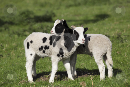 Spring lambs in meadow stock photo, Two jacobs sheep lambs in meadow in springtime by Mike Smith