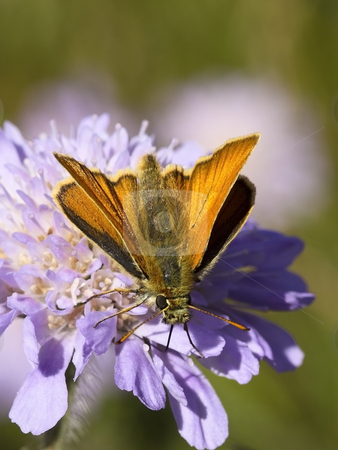 Large skipper on a scabious flower stock photo, A large skipper on a scabious flower by Mike Smith