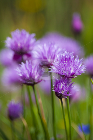 Chive flowers stock photo, Purple chive flowers by Mike Smith
