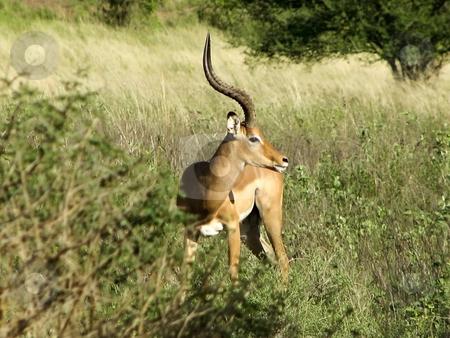 Male impala in kenya stock photo, A male impala in samburu national park kenya by Mike Smith