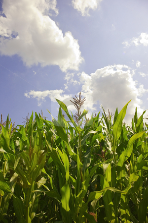 Cornfield in summer stock photo, A field of corn with blue sky in summer by Mike Smith