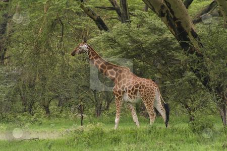 Rothchilds giraffe in kenya stock photo, A rothchilds giraffe in kenya by Mike Smith