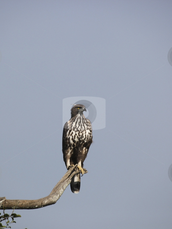 Changable hawk eagle stock photo, Changable hawk eagle, spizaetus cirrhatus, sitting on a branch against a clear blue sky by Mike Smith