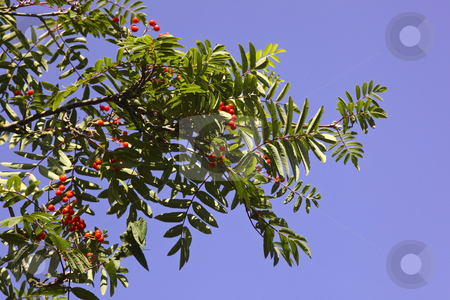 Mountain ash berries stock photo, A close up of mountain ash berries in summer by Mike Smith