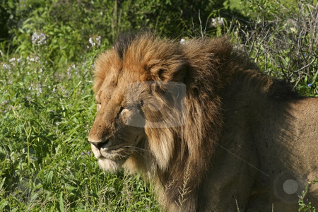 A male lion in kenya 3 stock photo, A close up of a male lion in samburu national park kenya by Mike Smith