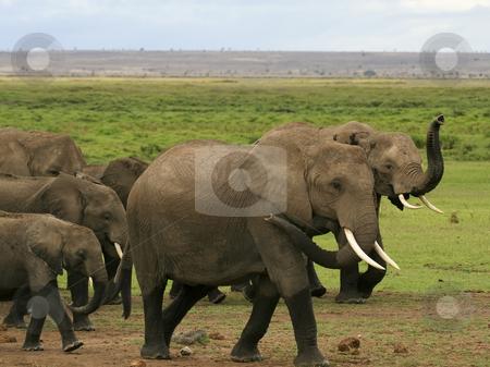 A herd of kenyan elephants stock photo, A herd of kenyan elephants in amboseli national park by Mike Smith