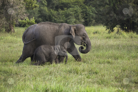 Mother and baby elephant 2 stock photo, A mother and baby elephant in wasgomuwa national park sri lanka by Mike Smith