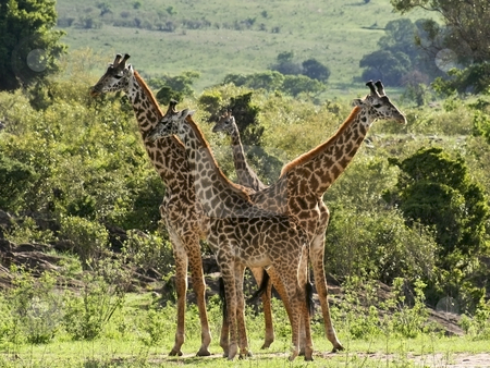 Masai giraffes in kenya 2 stock photo, A group of masai giraffes in tsavo national park kenya by Mike Smith