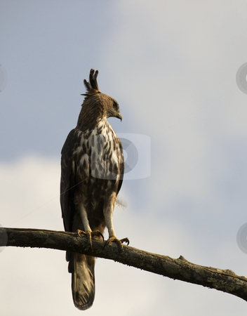 Changeable hawk eagle in sri lanka stock photo, A changeable hawk eagle in sri lanka by Mike Smith