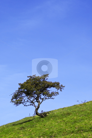Lone hawthorn tree stock photo, A lone hawthorn tree on a hillside in summer by Mike Smith