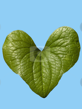Black bryony leaf stock photo, A heart shaped black bryony leaf against a blue background by Mike Smith