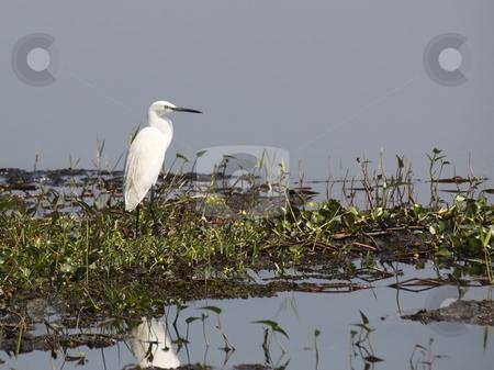 Intermediate egret  stock photo, An intermediate egret on lake in wasgomuwa sri lanka by Mike Smith