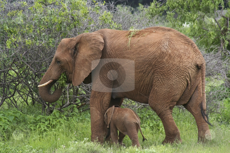 Mother and baby elephant 4 stock photo, A mother and baby elephant in samburu national park kenya by Mike Smith