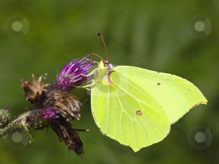 Brimstone butterfly on flower 2 stock photo, A brimstone butterfly gonepteryx rhamni on a knapweed flower by Mike Smith